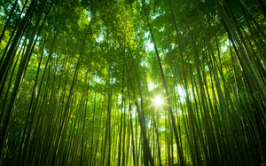 Japanese_bamboo_forestwide
